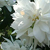 Philadelphus - Rusalka - Mock Orange, Philadelphus