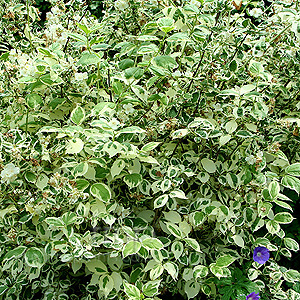 Philadelphus coronarius - 'Variegatus' (Variegated Mock Orange)