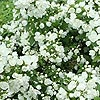 Philadelphus - Manteau d Hermine - Mock Orange, Philadelphus