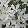 Phlox divaricata - May Breeze