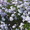 Phlox subulata - Oakington Blue Eyes