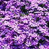 Phlox subulata - Purple Beauty