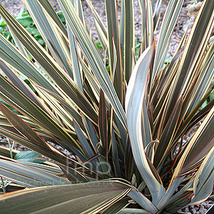 Phormium Alison Blackman New Zealand Flax
