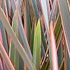 Phormium - Rainbow Queen - New Zealand Flax