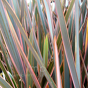 Phormium - 'Rainbow Queen' (New Zealand Flax)