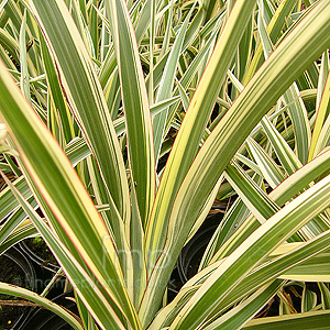 Phormium cookianum - 'Tricolor' (New Zealand Flax)