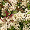 Photinia x fraseri - Red Robin