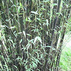 http://www.findmeplants.co.uk/photos/phyllostachys_nigra.jpg
