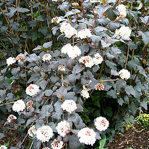 Physocarpus opulifolius - Diabolo (Purple Nine Bark)