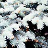 Picea pungens - Koster - Colerado Blue Spruce, Picea