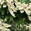 Pieris formosa - Wakehurst