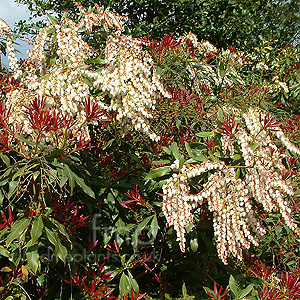 Pieris formosa forestii - 'Jermyns'