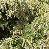 Pieris japonica - Little Heath