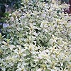 Pittosporum tenufolium - Silver Queen