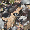 Pittosporum tenuifolium - Dark Delight