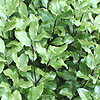Pittosporum - Peter Pan