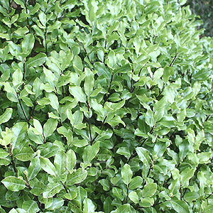Pittosporum - 'Peter Pan'
