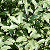 Pittosporum tenuifolium - Silver Princess