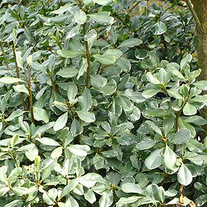 Pittosporum variegata