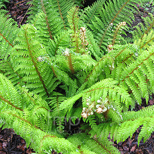 Polystichum setiferum - 'Proliferum Group'