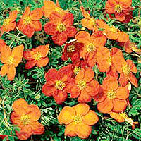 Potentilla - 'Sunset' (Shrubby Quinquefoil)