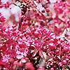 Prunus - Pink Perfection