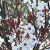 Prunus cerasifera - Pissardii - Purple Leaved Plum