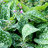 Pulmonaria Hazel Kayes Red - Lungwort