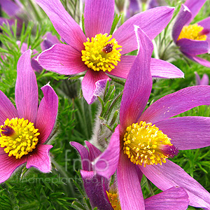 Pulsatilla zimmermannii (Pasque Flower)