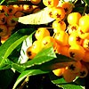 Pyracantha - Golden Charmer - Pyracantha, Fire Thorn