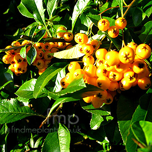 Pyracantha - 'Golden Charmer' (Pyracantha, Fire Thorn)