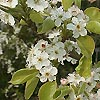 Pyrus calleryana - Chanticleer - Ornamental Pear