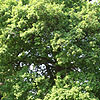 Quercus robur - Common Oak