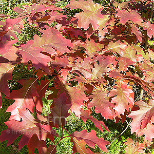 Quercus rubra (Red Oak)