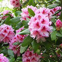 Rhododendron Mrs G W Leak Information Pictures Cultivation