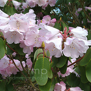 Rhododendron Oreodoxa Fargesii Information Pictures