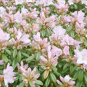 Rhododendron Phalarope Information Pictures Cultivation Tips