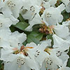 Rhododendron - Snowy Lady