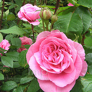Rosa - 'Gertrude Jekyll' (English Rose)