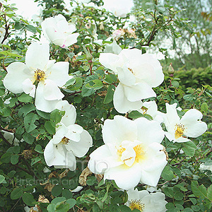 Rosa  - 'Nevada' (Shrub Rose)