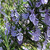 Rosmarinus officinalis - Sissinghurst Blue - Rosemary
