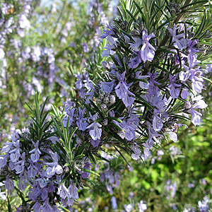 Rosmarinus officinalis - 'Sissinghurst Blue' (Rosemary)