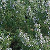 Rosmarinus officinalis - Primley Blue - Rosemary