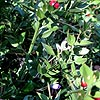 Ruscus aculeatus - Butchers Broom, Ruscus