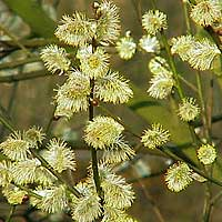 Salix caprea (Goat Willow)