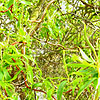 Salix babylonica - Tortuosa - Twisted Willow