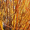 Salix alba - Vitellina - Golden Willow
