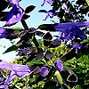Salvia guaranitica - Black and Blue - Giant Sage