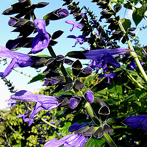 Salvia guaranitica - 'Black and Blue' (Giant Sage)