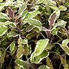 Salvia officinalis - Tricolor - Variegated Sage